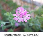 geranium fragrance  pelargonium ... | Shutterstock . vector #676896127