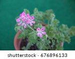 geranium fragrance  pelargonium ... | Shutterstock . vector #676896133