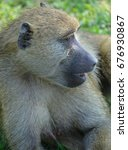 Baboons Are African Old World...