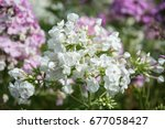 amazing cluster of white phlox... | Shutterstock . vector #677058427