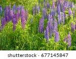 lupinus  lupin  lupine field... | Shutterstock . vector #677145847