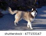 Small photo of Siberian Husky Walking