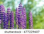 lupinus  lupin  lupine field... | Shutterstock . vector #677229607