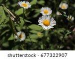 "Small photo of ""Mexican Fleabane"" flower (or Mexican Daisy, Karwinsky's Fleabane, American Fleabane) in St. Gallen, Switzerland. Its Latin name is Erigeron Karvinskianus (Syn Erigeron Mucronatus), native to Mexico."