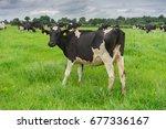 friesian dairy cows in a green... | Shutterstock . vector #677336167