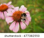 A Large Furry Bumblebee Sittin...