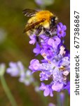 bee pollinating lavender... | Shutterstock . vector #677386867