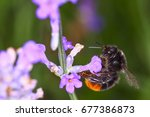 red tailed bumblebee... | Shutterstock . vector #677386873