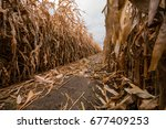 A Path In A Corn Maze Is Strew...