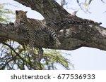 Female Leopard Resting In An...