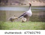 A Parent Greylag Looks Over It...