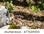 Small photo of MOREY-SAINT-DENIS, FRANCE - JUNE 29, 2017: WIld flowers and mosses on top of the stone wall of a vineyard of the Grand Cru Appellation d'Origine Controlee Clos des Lambrays in Burgundy.