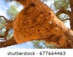 huge nest of the the sociable... | Shutterstock . vector #677664463