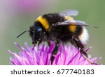 bumblebee  bombus terrestris | Shutterstock . vector #677740183