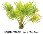 young betel palm on isolate... | Shutterstock . vector #677758567