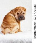 Stock photo puppy shar pei red studio 677779333