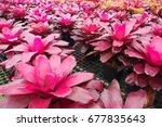 aechmea fasciata in garden.   Shutterstock . vector #677835643