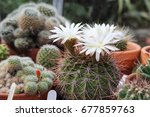 Small photo of White flowers of acanthocalycium klimpelianum cactus side view