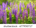 lupinus  lupin  lupine field... | Shutterstock . vector #677950717