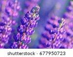 lupinus  lupin  lupine field... | Shutterstock . vector #677950723