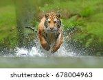 siberian tiger  panthera tigris ... | Shutterstock . vector #678004963