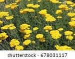 blooming cultivar yarrow ...   Shutterstock . vector #678031117