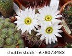 Small photo of White flowers of cactus acanthocalycium klimpelianum