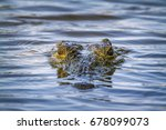 Nile Crocodile In Kruger...