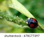 harlequin ladybird eating... | Shutterstock . vector #678177397