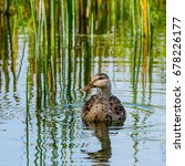 Small photo of An American black duck with its reflection in a grassy pond