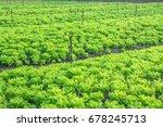 fresh green lettuce farm | Shutterstock . vector #678245713