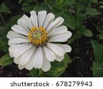 zinnia flowers | Shutterstock . vector #678279943