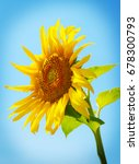sunflower field | Shutterstock . vector #678300793