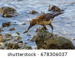 A Female Boat Tailed Grackle...