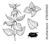 Nettle Vector Drawing. Isolate...