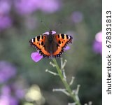 Small photo of The small tortoiseshell (Aglais urticae)