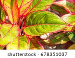 close up red and green leaves... | Shutterstock . vector #678351037