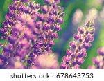 lupinus  lupin  lupine field... | Shutterstock . vector #678643753