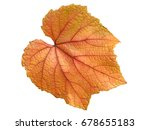 vine leaf in autumn fall colour ... | Shutterstock . vector #678655183