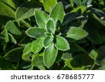 Lambs Ears Plant Closeup Havin...