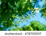 Sophora Japonica Tree. Tree...