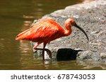 Scarlet Ibis  Eudocimus Ruber...