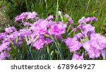 dianthus blooms in the garden | Shutterstock . vector #678964927