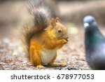 Stock photo red squirrel on gravel path in park animal begs and eats sunflower seeds which took away from dove 678977053