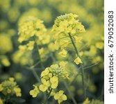 Small photo of Canola flowers field./Canola field