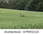 roe deer on agriculture field... | Shutterstock . vector #679052113