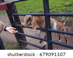 big young goat on a country... | Shutterstock . vector #679091107