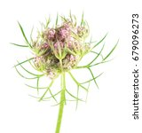 Flower Of Wild Carrot  Daucus...