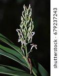 Small photo of Alpinia galonga