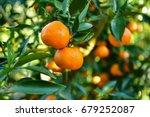 Ripe Juicy Sweet Orange...